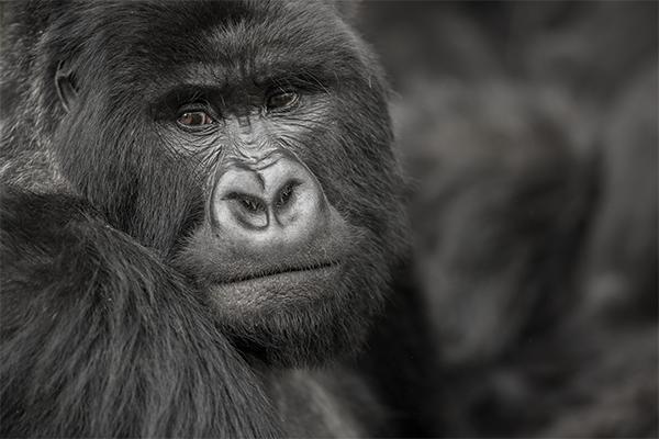 Gorila de montaña Rwanda