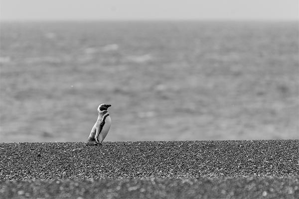 Pingüino Magallánico