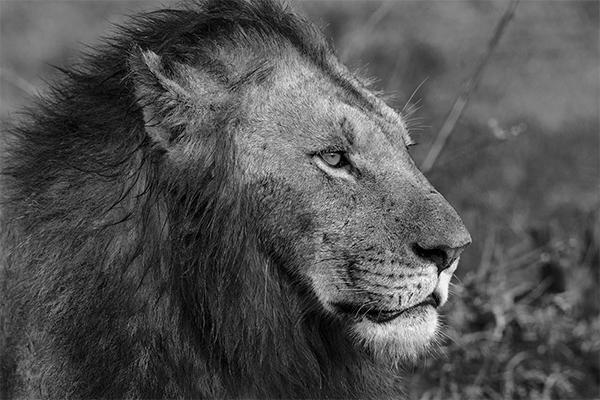 León perfil