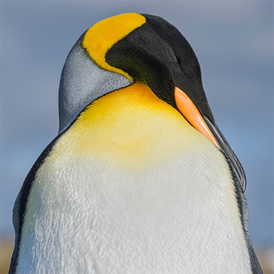 Abstracción pingüino Reina
