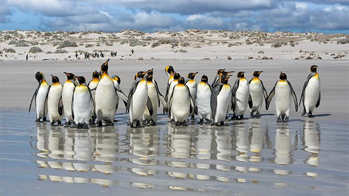 Pingüinos Rey en la playa