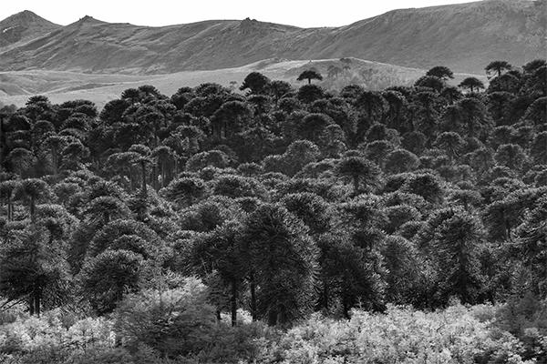 Bosque Araucano