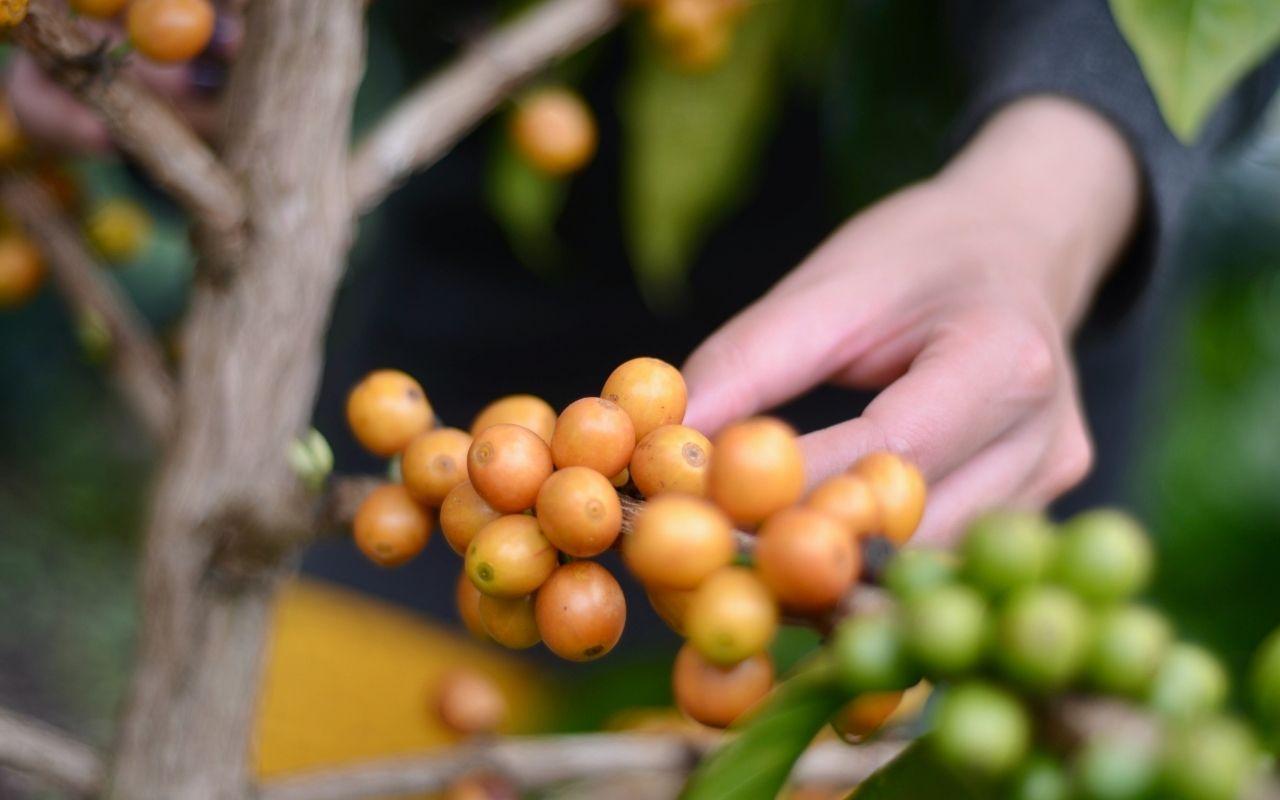 Proceso de Producción de Café