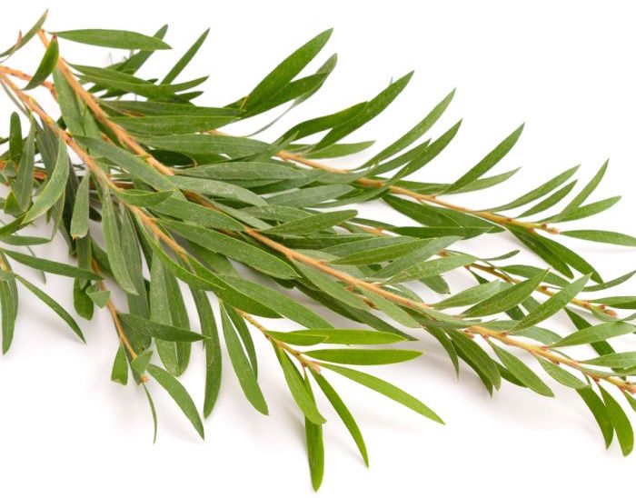 Beneficios del Tea Tree para tu mascota