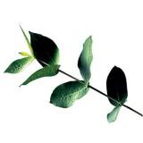 Esencia de Eucaliptus