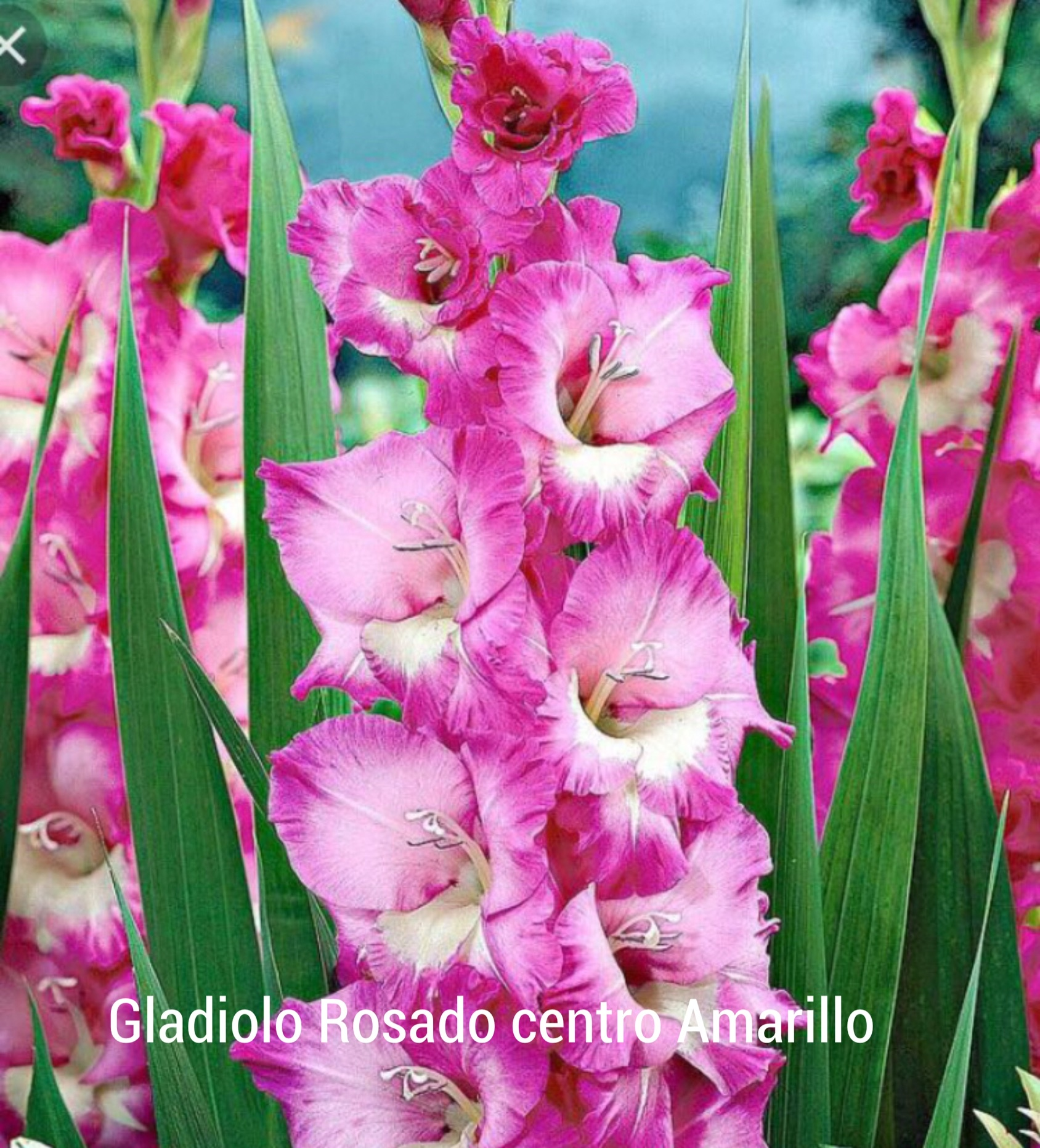 PACK GLADIOLOS COLORES MIX
