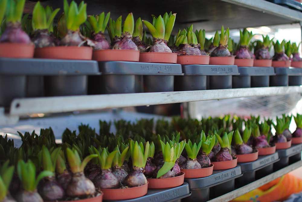 Multiplicación de Plantas bulbosas