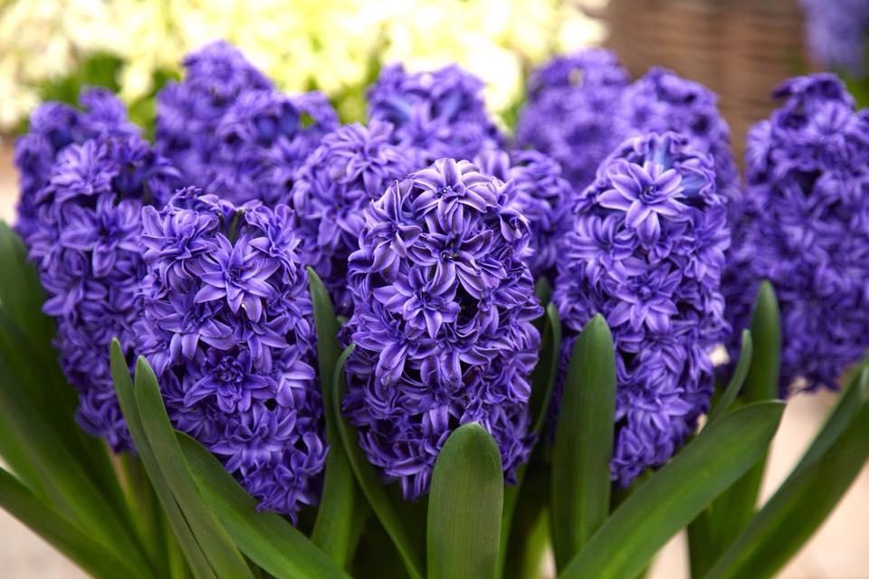 Una nota floral: el Jacinto