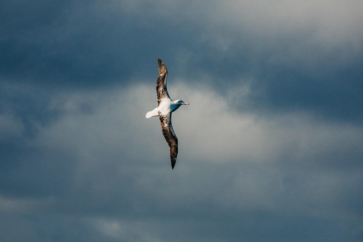 Albatros al vuelo
