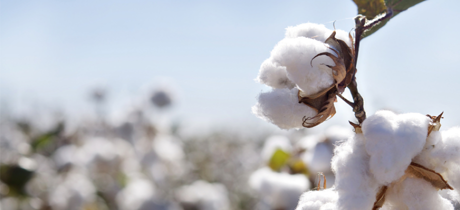Algodón Pima, el mejor algodón para nuestros bebés