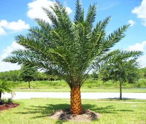 PHOENIX SYLVESTRIS (silver indian palm)