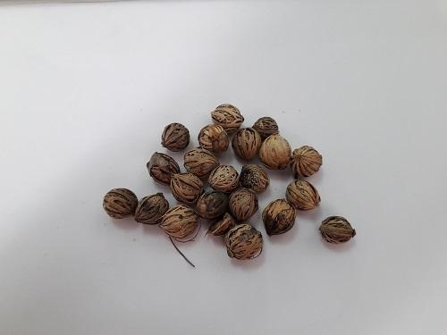 semillas de Palmera Alexander (Archontophoenix alexandrae)