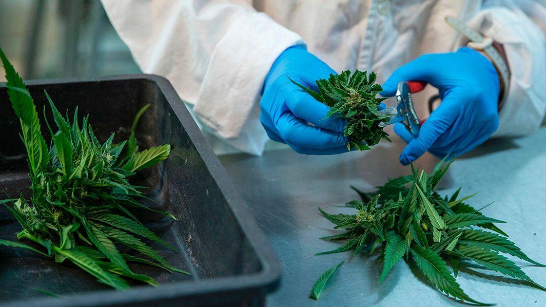 Puede la Cannabis Afectar en el Rendimiento de tu Memoria ?