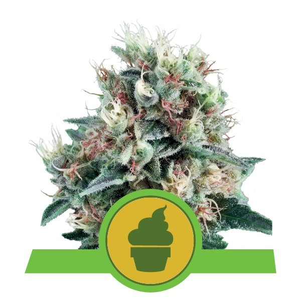 Auto Royal Creamatic Royal Queen Seeds 1ud