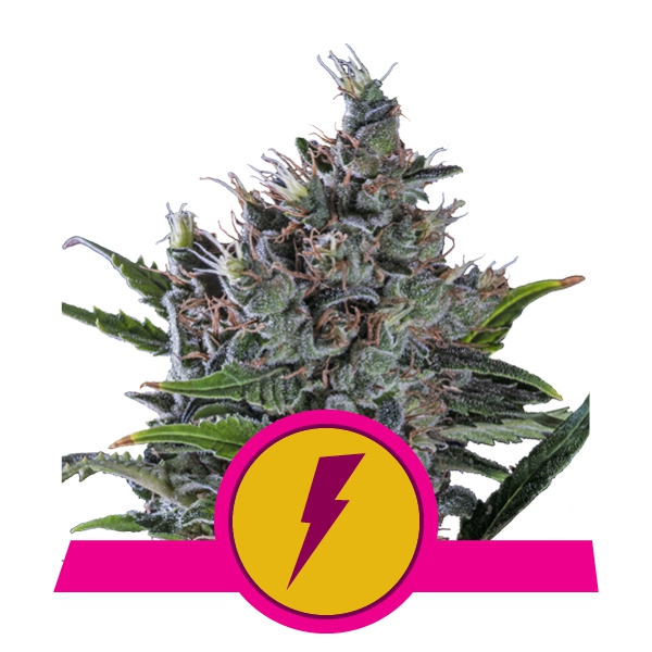 Fem North Thunderfuck Royal Queen Seeds 3ud