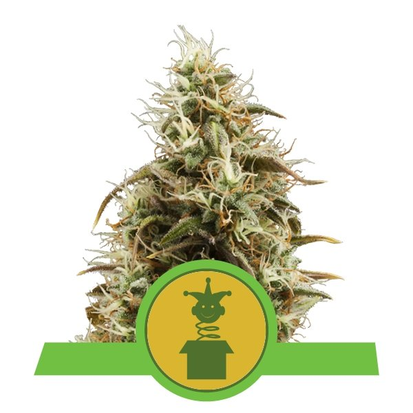Auto Royal Jack Royal Queen Seeds 1ud