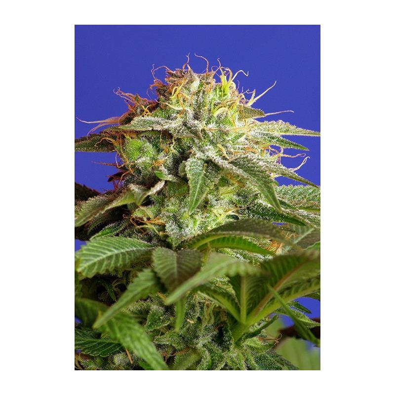 GREEN POISON FAST VERSION SWEET SEEDS 3ud