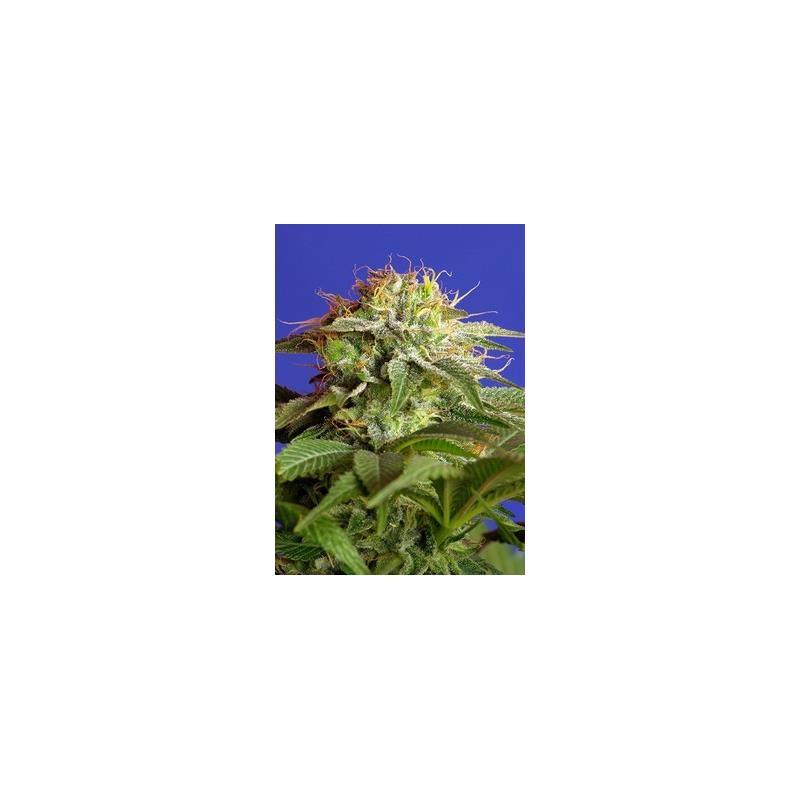 GREEN POISON SWEET SEEDS 3ud