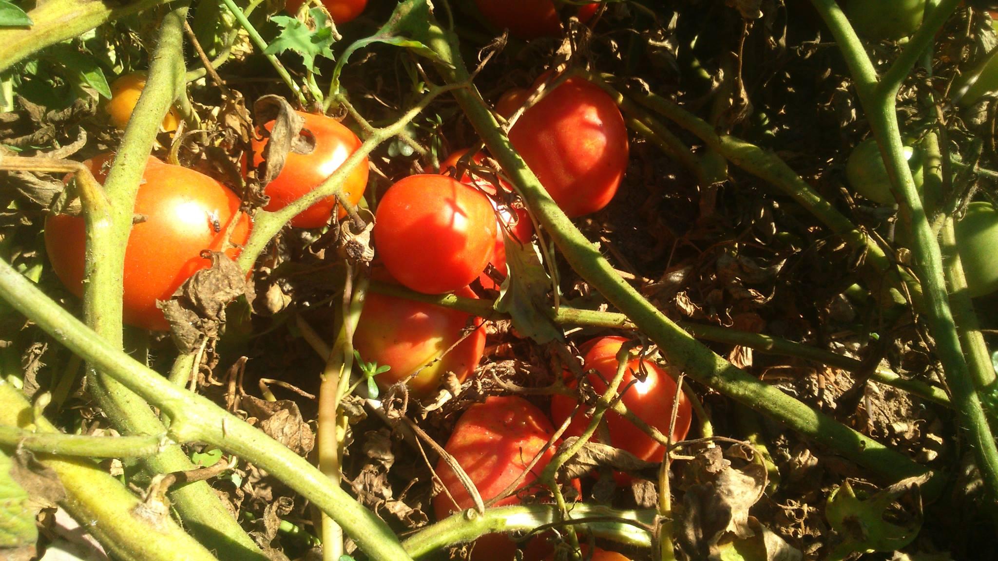 Tomate Salada 1 kg