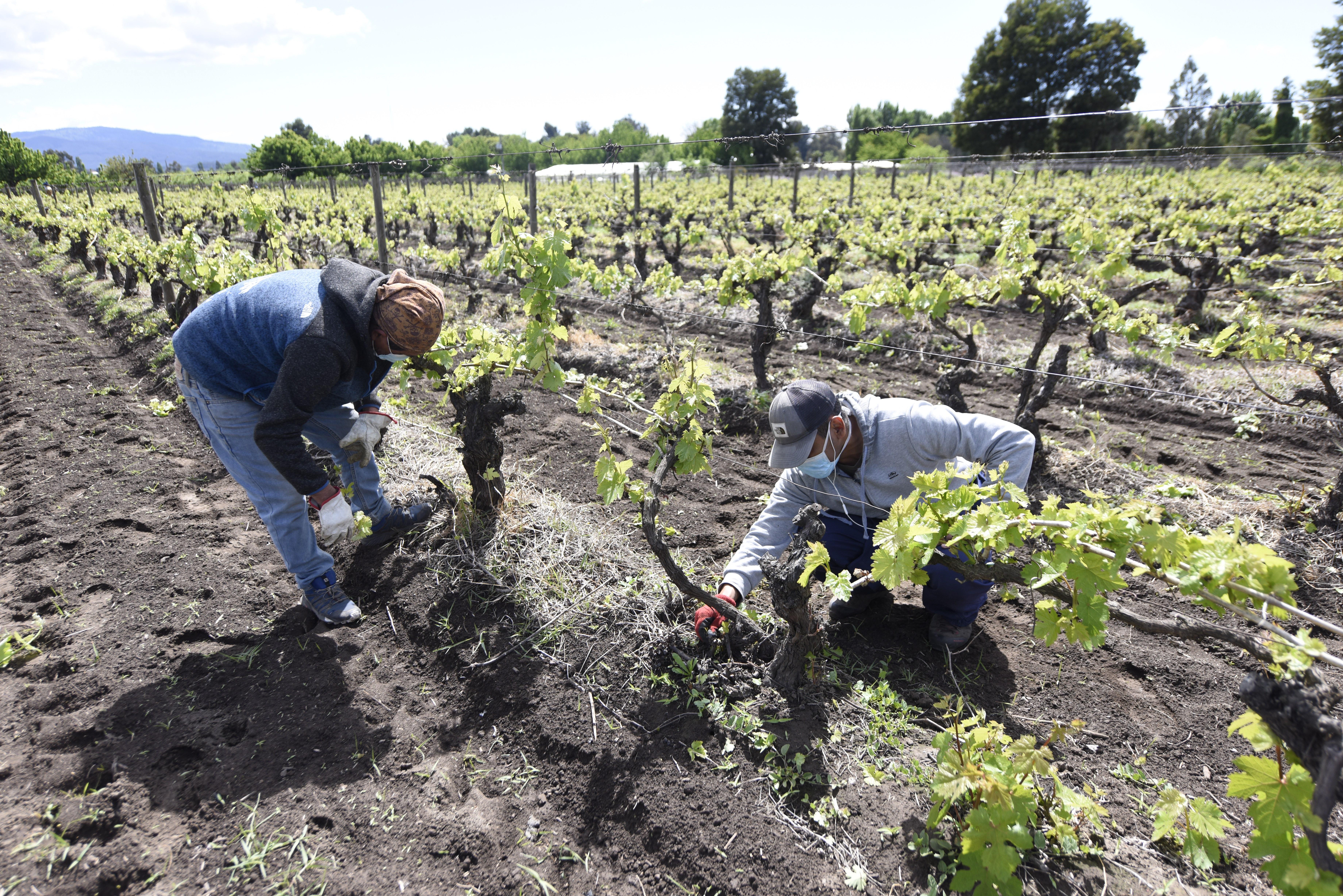 La experiencia vitivinícola del CET de Angol, la única cárcel del mundo que tiene su propio viñedo
