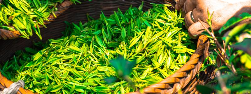 La planta del té