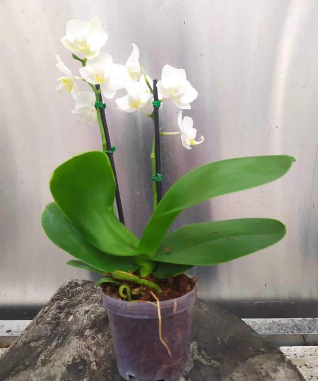 Las Orquídeas, Flor de  Mayo, Lirio de Mayo conocida como