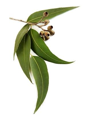 Aceite esencial eucalipto desinflama bolsas párpados aclara ojeras y manchas